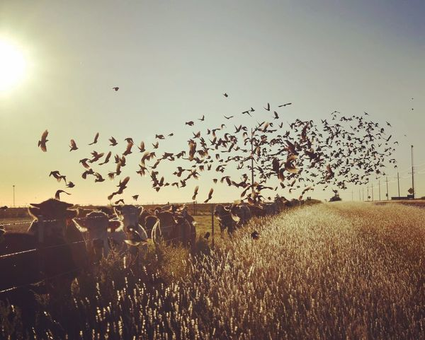 Fly Large Group Of Animals Flock Of Birds Bird Animal Themes Flying Animals In The Wild Migrating Nature Wildlife Animal Wildlife Outdoors Togetherness No People Sky Landscape Silhouette Scenics Sunset Day