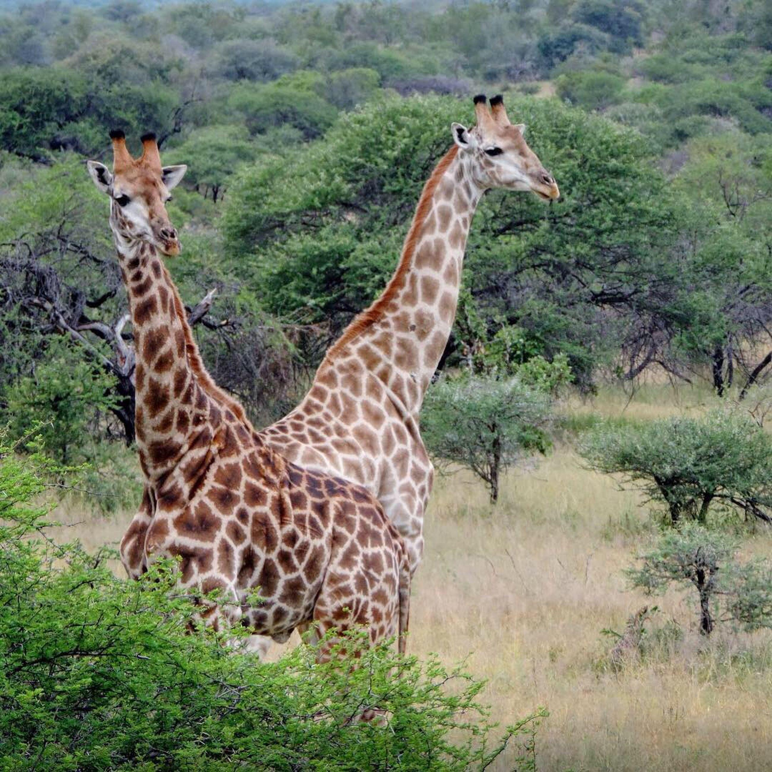 animal, animal themes, animals in the wild, animal wildlife, mammal, safari, giraffe, nature, grass, land, plant, vertebrate, no people, group of animals, day, focus on foreground, field, tree, outdoors, herbivorous, animal neck