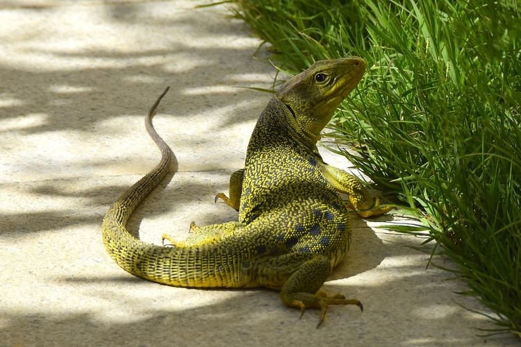 Lizard Animals In The Wild Animal Wildlife Reptile Animal One Animal Animal Themes Nature Vertebrate Green Color Close-up Sunlight Shadow Outdoors Grass Plant Rear View Looking At Camera