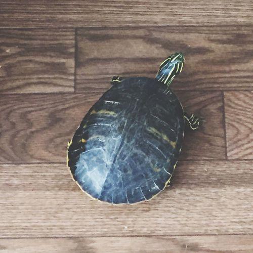 Our Newpet Turtle , Rafael  .