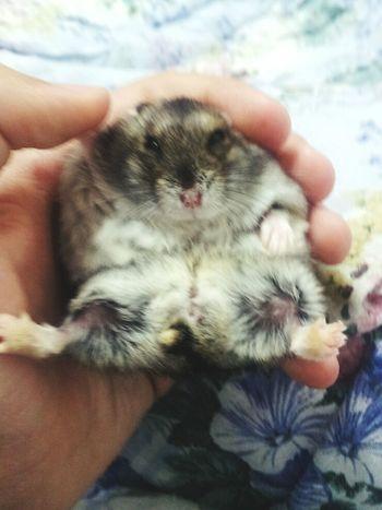 Hamsters Hamster Hamster Love Hamster ♡ My Hamster My Hamster *-* Hamstertime Cute Hamster Hamster(:  Mi Hamster