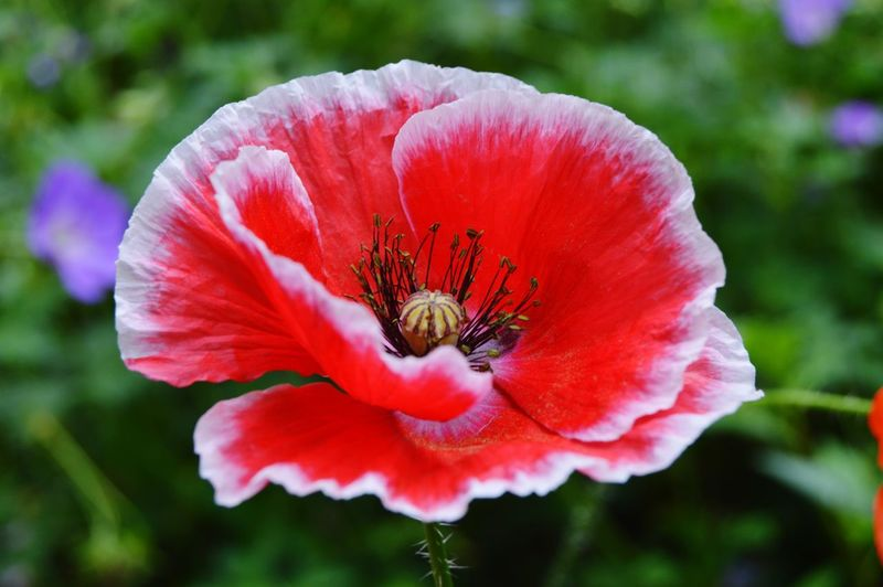 Summer Flowers Flowers Flowers, Nature And Beauty Flower Photography Flowers,Plants & Garden Flowerphotography Beauty In Nature Nature Nature Photography Pink Flowers Poppy Flower Poppies  RedFlower Red Flower Poppy Flowers Redflowers Pink Flower Wildflower Flower Head Flower Poppy Beauty Petal