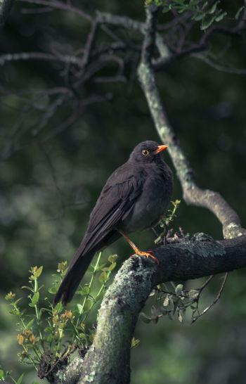 Blackbird perching on branch