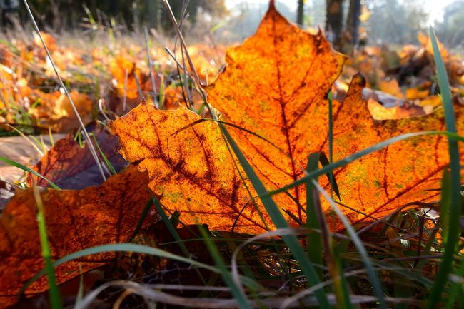 Autumn Change Leaf Nature Outdoors Orange Color Beauty In Nature Leaves Cold Temperature Fallen Autumn Leaves Bokeh It Is Cold Outside November2016 The Places I've Been And The Things I've Seen Autumn 2016 From My Point Of View Get Closer Frog Perspective Sunlight Tranquility