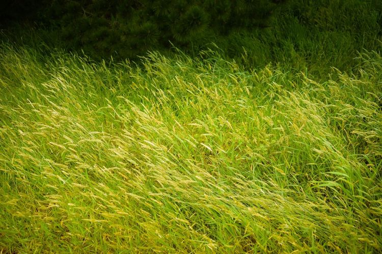 Grass Nature Growth Field No People Outdoors Day Green Meadow Spring Christchurch New Zealand Wind