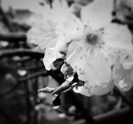 雨の合間に…… Flowers Flower 雫 すももの花