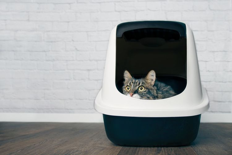 Maine coon cat looking curious out of a litter box.