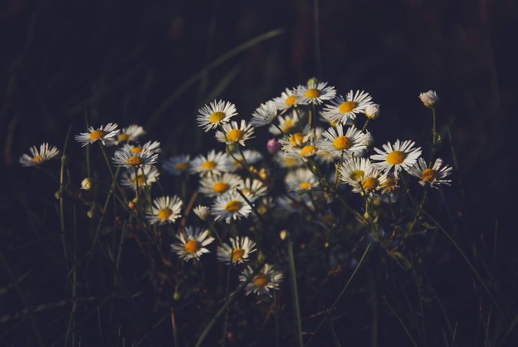 Daisy Daisy Flower Flower Flowers Wildflowers Chamomile White Flower Macro Nature Spring Meadow Meadow Flowers