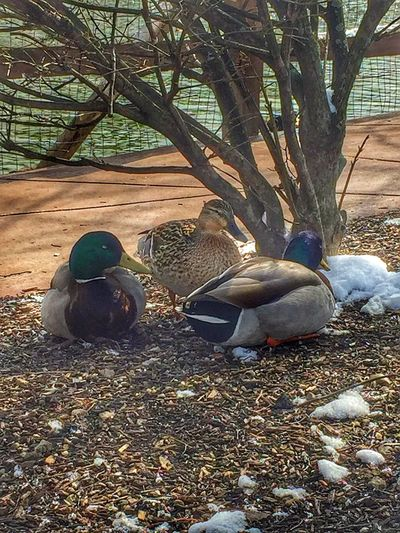 Ducks Duck Duck Watching Wildlife Wildlife & Nature Fowl IPhoneography Iphonephotography