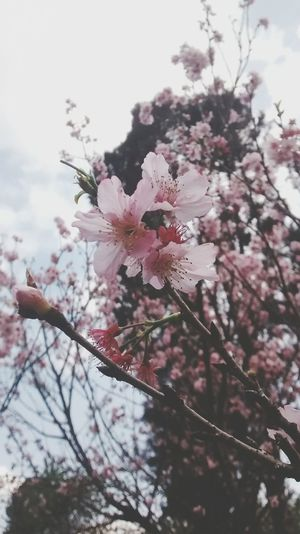 Flor de Cerejeira 🌸 Flower Bloom Japonese Cherryblossom Nature Is Art EyeEm Best Shots - Flowers