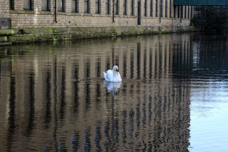 Canal swan. Alone Industrial Building  Animal Animal Wildlife Animals In The Wild Bird Brick Building Canal Cygnet Day Floating On Water Mill Nature No People One Animal Poultry Reflection Swan Swimming Vertebrate Water Water Bird Waterfront White Windows