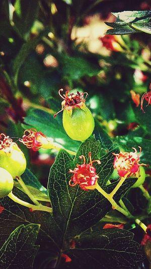Green Green Plant Yeşil Kuşburnu Red It's Natural Natural Nature_collection Green Color Green Green Green!  Kirmizi Kırmızı Doğal Yaşam Doğalcennet Seed Sağlıklı Healthy Healthylife Seeds Recoveryfood şifalı Bolu  Gerede Türkiye Turkey