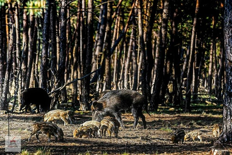 Canon5dmarkiii Canon 70-200 F2.8 L IS-II Nationale Park De Hoge Veluwe EyeEm Nature Lover Wildlife Beautiful Nature Wild Boar Forrest Photography Forrest
