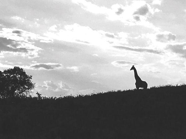Africa Africa Giraffe Dusk Safari Safari Animals Safaripark First Eyeem Photo IPhoneography IPhone IPhone Photography Iphoneonly Iphone6s