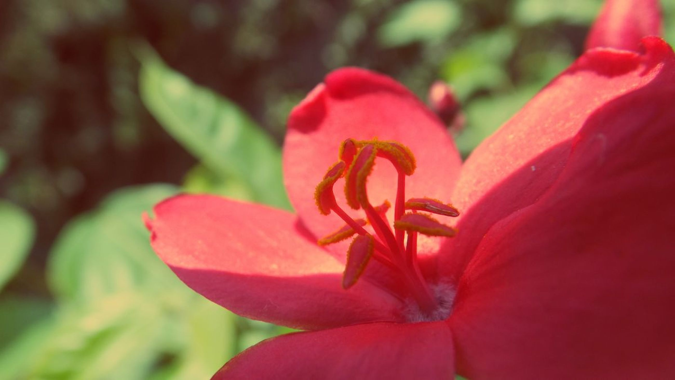 flower, petal, flower head, freshness, fragility, red, growth, beauty in nature, close-up, blooming, nature, focus on foreground, plant, stamen, single flower, pollen, in bloom, pink color, day, park - man made space