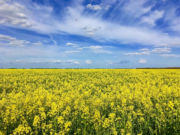 Sky Field Land Landscape Agriculture Growth Tranquil Scene Yellow Cloud - Sky Scenics - Nature Beauty In Nature Tranquility Rural Scene Plant Farm Flower Nature Environment Crop  Day