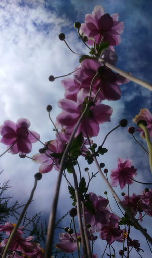 Aiming at the sky Buds Japanese Anemone Low Angle View Beauty In Nature Blooming Blossom Branch Close-up Flower Flower Head Fluffy Clouds Fragility Freshness Growth Low Angle View Nature Outdoors Petal Pink Color Plant Sky Tree