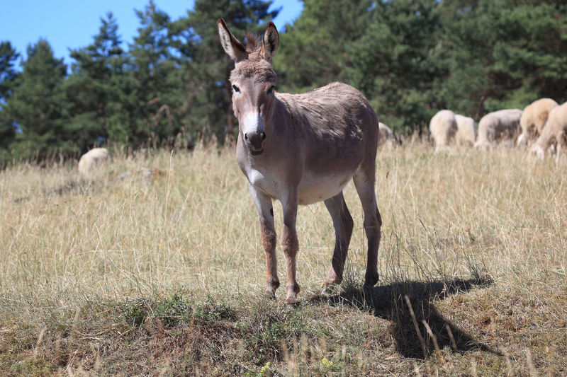 donkey on the pasture Animal Animal Themes Animal Wildlife Day Domestic Domestic Animals Donkey Field Full Length Grass Herbivorous Horse Land Livestock Mammal Nature No People One Animal Outdoors Pets Plant Standing Tree Vertebrate