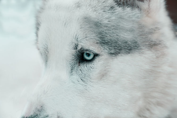 W o l f g a n g ? One Animal Animal Animal Themes Domestic Domestic Animals Pets Mammal Close-up Vertebrate Animal Body Part Dog Focus On Foreground Eye Animal Head  No People Canine Animal Eye Cold Temperature Winter Sled Dog Whisker Wolf WOlves Wolverine EyeEm Best Shots