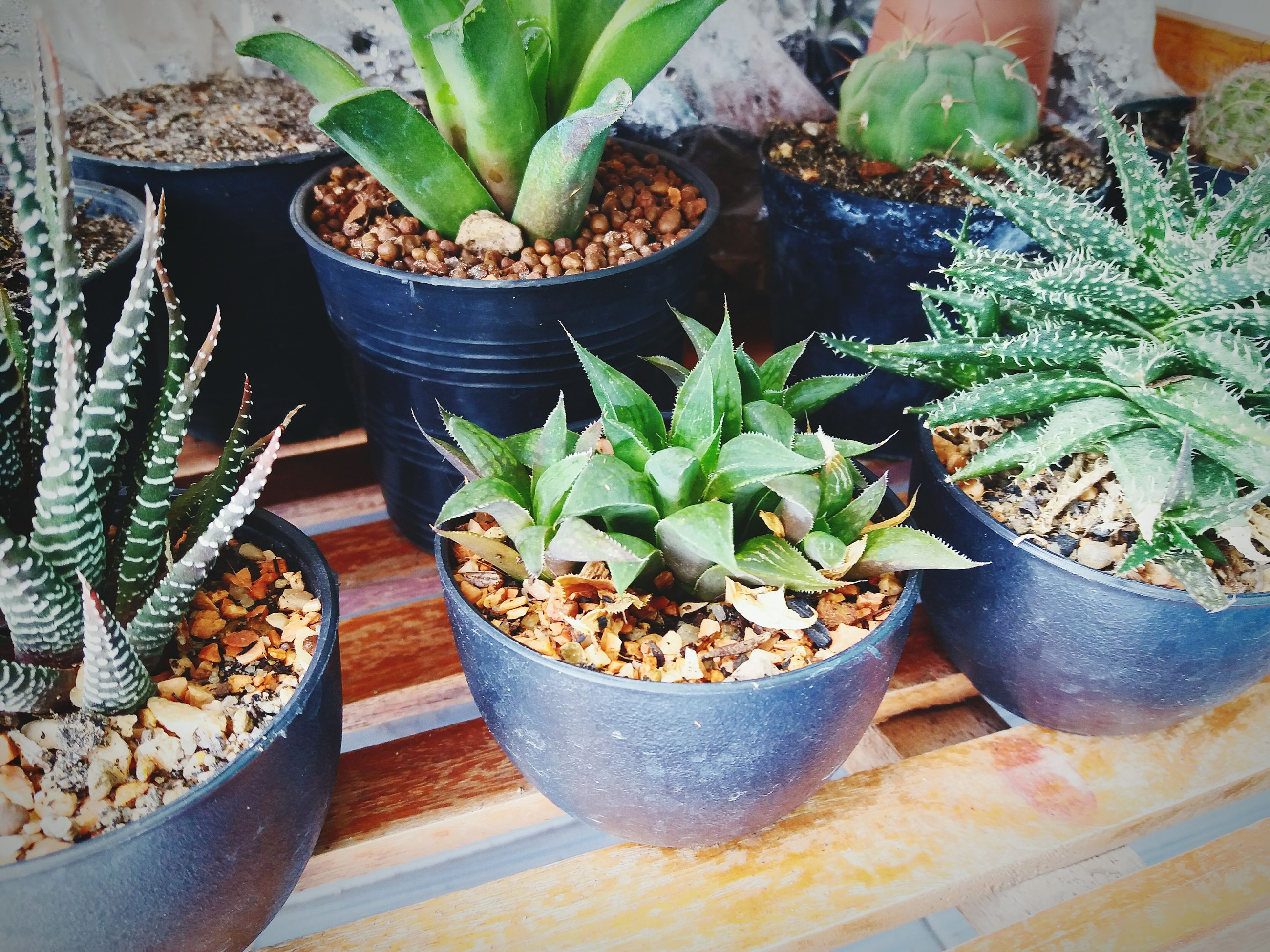 potted plant, growth, plant, no people, leaf, table, high angle view, indoors, cactus, green color, day, nature, freshness, close-up, basil, food, fragility