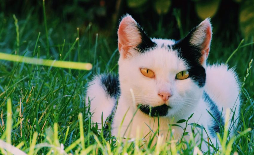 Pets Domestic Animals Mammal Domestic Cat Animal Themes One Animal Grass Feline Cat Portrait Looking At Camera No People Outdoors Day Close-up Nature