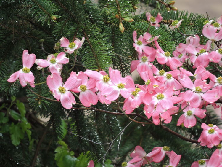 pink dogwood Beauty In Nature Blooming Day Dogwood Blossom Flower Fragility Freshness Growth Nature No People Outdoors Pink Color Pink Flowers Plant Tree
