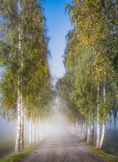 Scenic autumn landscape with road, birches and morning light in Finland Tree Plant Direction The Way Forward Nature Treelined No People Beauty In Nature Tranquil Scene Outdoors Scenics - Nature Sky Sunlight Tranquility Growth Road Finland Landscape Fog Foggy Morning Mist Misty Autumn Light Atmospheric Mood