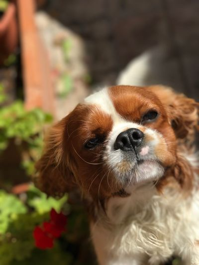 EyeEm Selects Cavalier King Charles Spaniel Young Animal Dog One Animal Cunning Funny Brats Us All Blenheim Portrait Funny Face #NoFilter Searching Girlfriends Baby Time Animal Themes Mammal Looking At Camera No People Close-up Nature Grass Curious