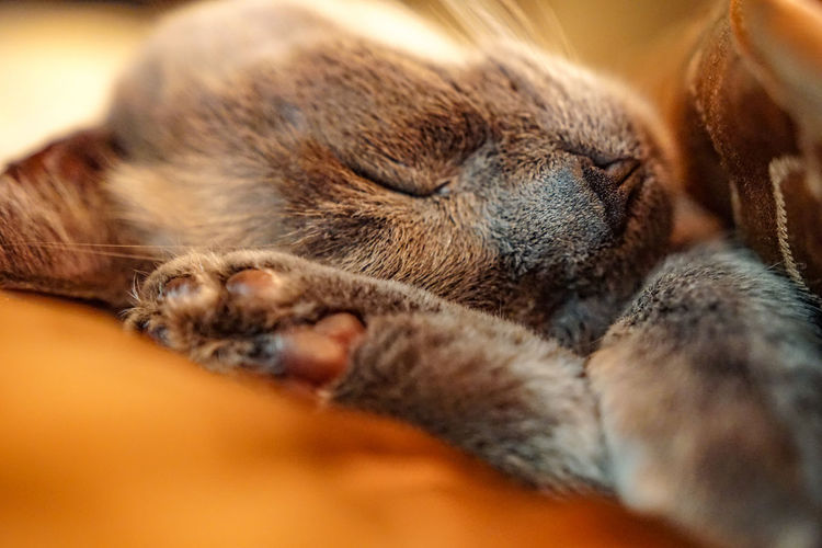 One Animal Animal Themes Pets Domestic Animals Indoors  Selective Focus Relaxation Sleeping Resting Close-up Mammal Brown Animal Head  Zoology Animal NoseAlways Be Cozy Animal No People Snout At Home Sleeping Cat CATCATLOVER. Always Be Always Be Cozy Pet Portraits