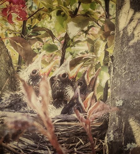 A Four pack of Robins. Samsung Galaxy S5 My Back Yard Baby Birds Birds Nest Baby Robins Nesting Birds In The Tree