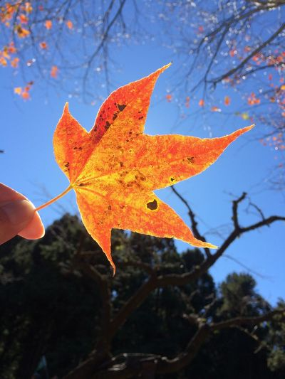 Autumn Autumn Beauty In Nature Change Close-up Growth Leaf Leaves Maple Tree Mapleleaf Natural Pattern Nature No People Outdoors Season  Sky Sky And Clouds