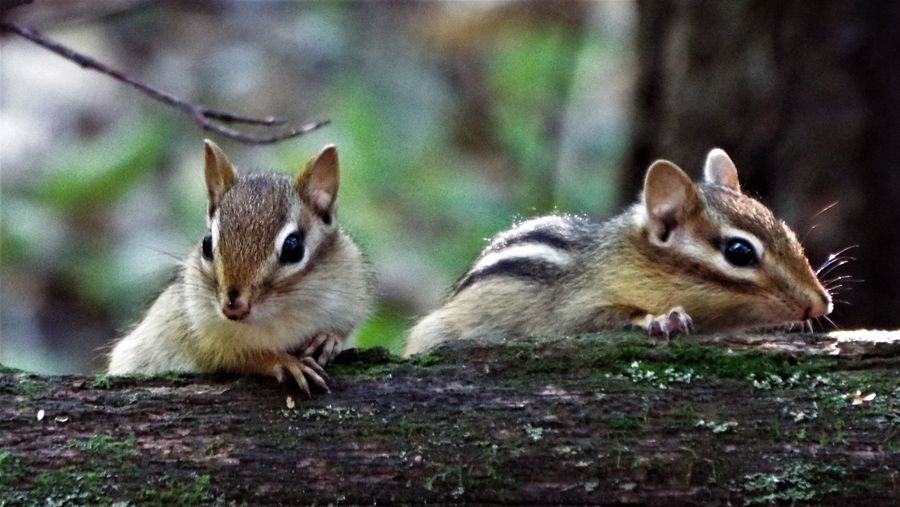 IMNH The Week On EyeEm Animal Themes Animals In The Wild Close-up Day Mammal Nature No People Oka Outdoors Squirrel Togetherness Tamias Minimus