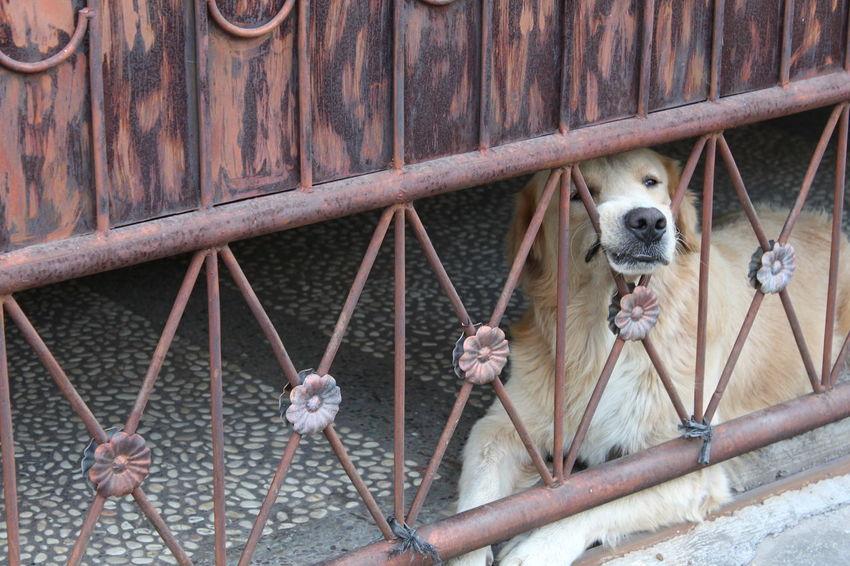 Boring Caretaker Dog Golden Retriever One Animal Pets Stay