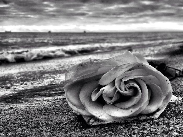 Oh rose, thou