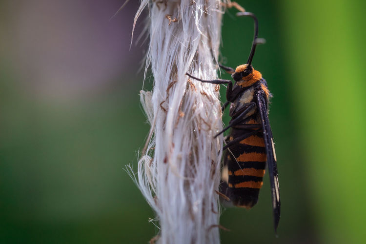 Beauty image of wasp moth hanging on a grass plant