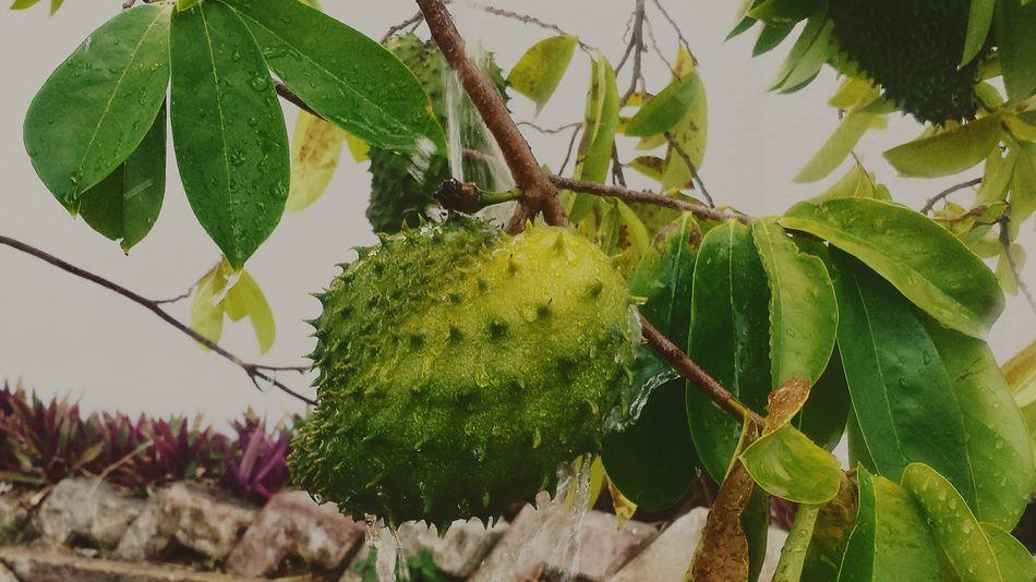 Custard Apple Soursop Cherimoya Eat More Fruit Fresh Fruits Garden Fruits Summer Fruits
