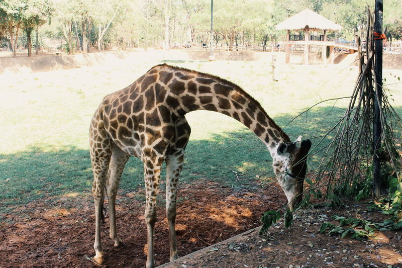 Animal Animal Themes Animal Wildlife Mammal Animals In The Wild One Animal Giraffe Vertebrate Land Day No People Nature Tree Domestic Animals Animal Markings Plant Safari Field Herbivorous Zoo Outdoors Animal Neck