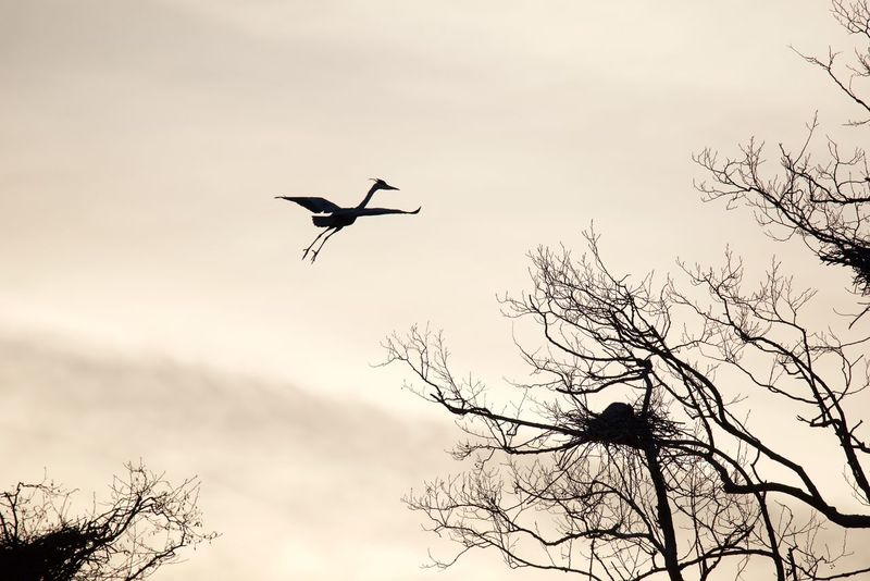 Heron Animal Themes Animal Wildlife Animals In The Wild Beauty In Nature Bird Flying Heron Bird Late Evening Sky Mid-air Nature No People One Animal Outdoors Silhouette Sky Spread Wings Tree Ardeidae
