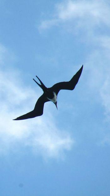 Iwa IWA Great Frigate Bird Female Sky Clouds And Sky Cloud - Sky Bird Spread Wings Flying Bird Of Prey Blue Full Length Mid-air UnderSea Sky Animal Themes Animal Wing Sea Bird