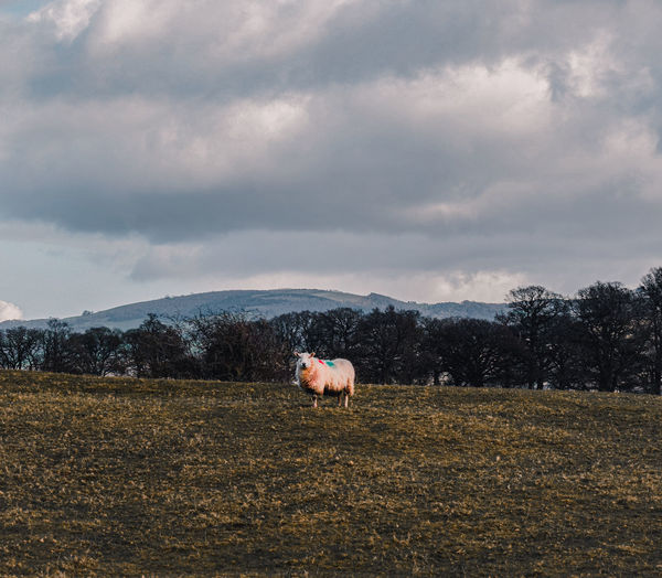 Lone sheep on a field