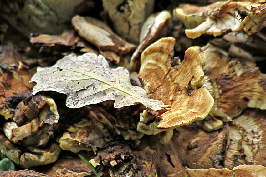 Oak leaf Leaf Plant Part Dry Nature Plant Autumn Leaves Tree Selective Focus High Angle View Vulnerability  Fragility Beauty In Nature Natural Condition Dried Bark Mushrooms Textured  Texture Oak Oak Leave