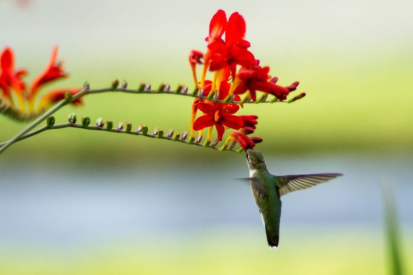 Hummingbirdphotography Hummingbird Red Close-up No People Nature Plant Focus On Foreground Plant Part