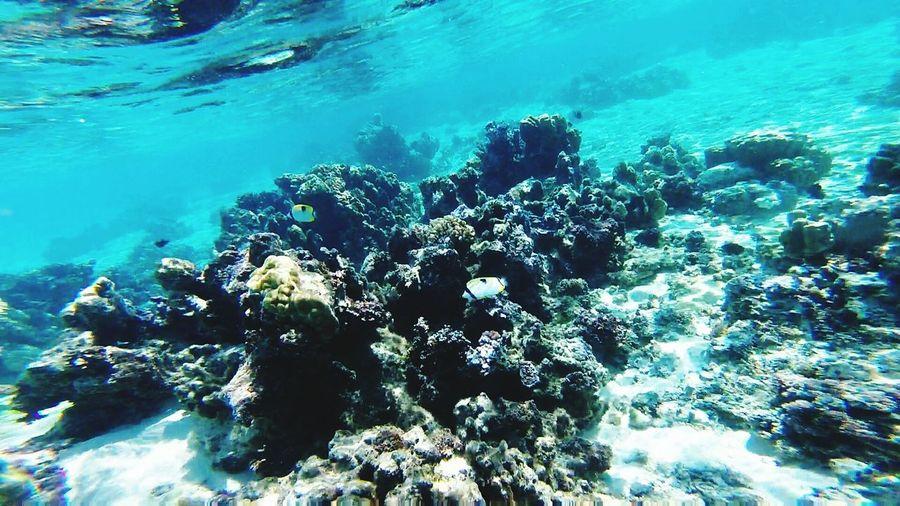 Moorea Lagoon Coral Reef Coral Garden Underwater Sofitel Sofitel La Ora French Polynesia