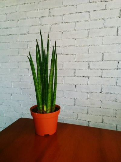 Plant Brick Wall White Bricks White Bricks Wall Rectangle Bricks Wall Plant Photography Potted Plant Tabletop Edge Green White White Background Nexus5photography