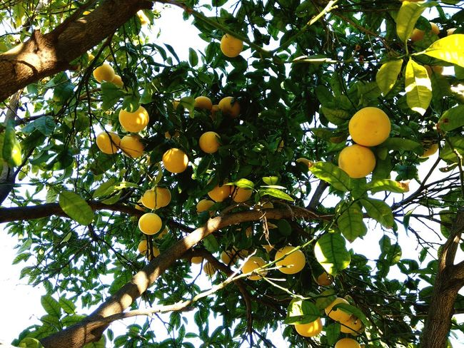 Fruit Citrus Fruit Tree Orange - Fruit Food And Drink Low Angle View Lemon Orange Tree No People Green Color Food Healthy Eating Grapefruit