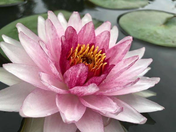 Flower Petal Nature Beauty In Nature Flower Head Freshness No People Growth Fragility Close-up Day Water Outdoors