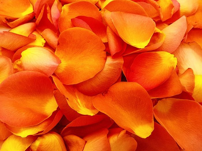 Sea of Rose leaves in salmon colors Roses Flowers  Leaves Salmon Colors Love Valentine's Day  Fragrance Romatic Full Frame Backgrounds Orange Color No People Close-up Textured  Indoors  Flower Nature Freshness