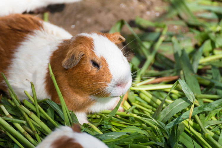 Close-up of guinea pig on grass