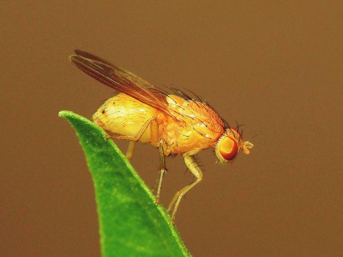 Fruitfly Macro