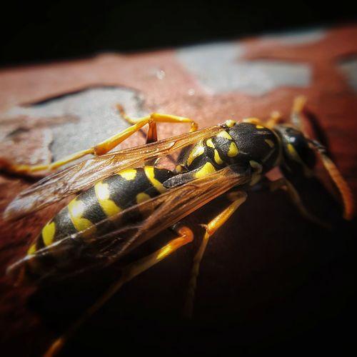 Bug Macro Vesp